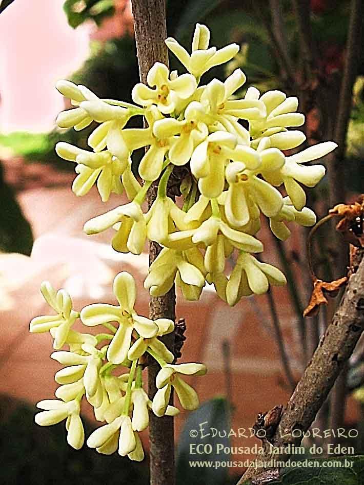 jasmim do imperador (Osmanthus fragrans) Pousada Jardim do Eden Foto